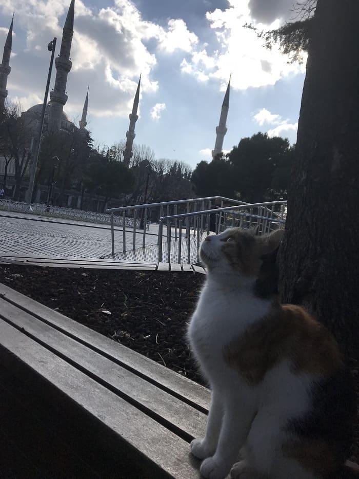 turkish cat in istanbul