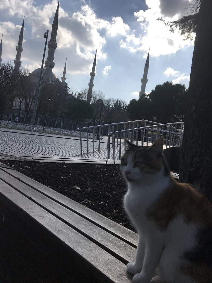 turkish cat in istanbul