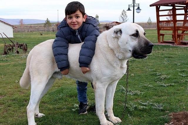カンガル犬