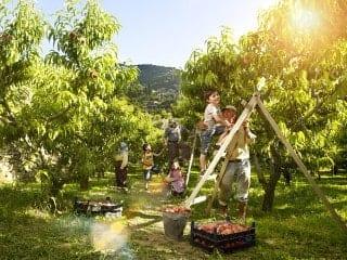 木から完熟リンゴを収穫